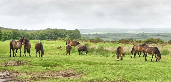 Dulvderton Rd Exmoor ponies